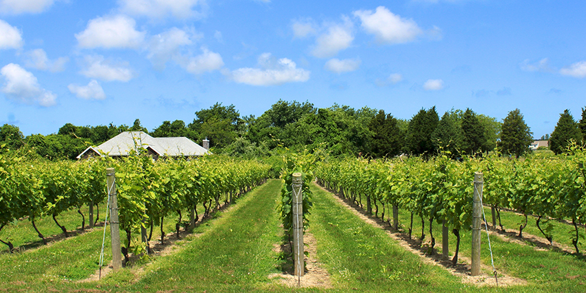 New York Vineyard